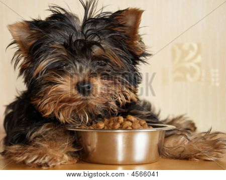 Yorkshire terrier puppy what to feed