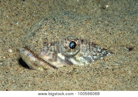 fish lizard hides in the sand waiting for prey stock photo