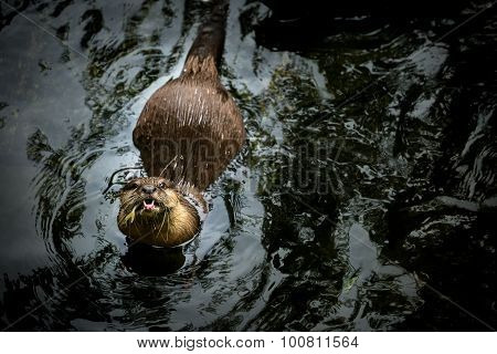 Asian otter swimming and eatting in the water. stock photo