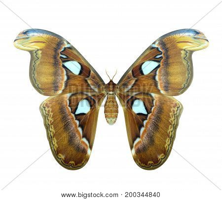 The biggest night butterfly in Thailand. Atlas moth or Attacus atlas is a large butterfly saturniidae moth found in the tropical and subtropical forests of Southeast Asia isolated on white background. stock photo