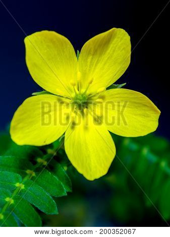 Yellow wild flower of small caltrops weed stock photo