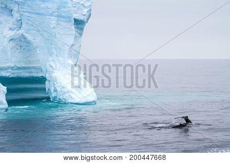 Antarctica - Antarctic Peninsula - Palmer Archipelago - Neumayer Channel - Global warming - Whalein front of Tabular Iceberg in Bransfield Strait stock photo