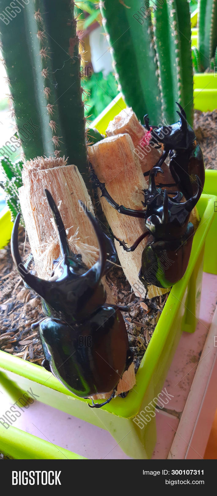 adult,asia,atlas,background,beetle,biological,cephalic,chalcosoma,eating,ecological,environmental,fresh,green,healthy,horn,insecta,leaf,live,male,natural,nature,plant,scarabaeidae,southeast,species,sugarcane