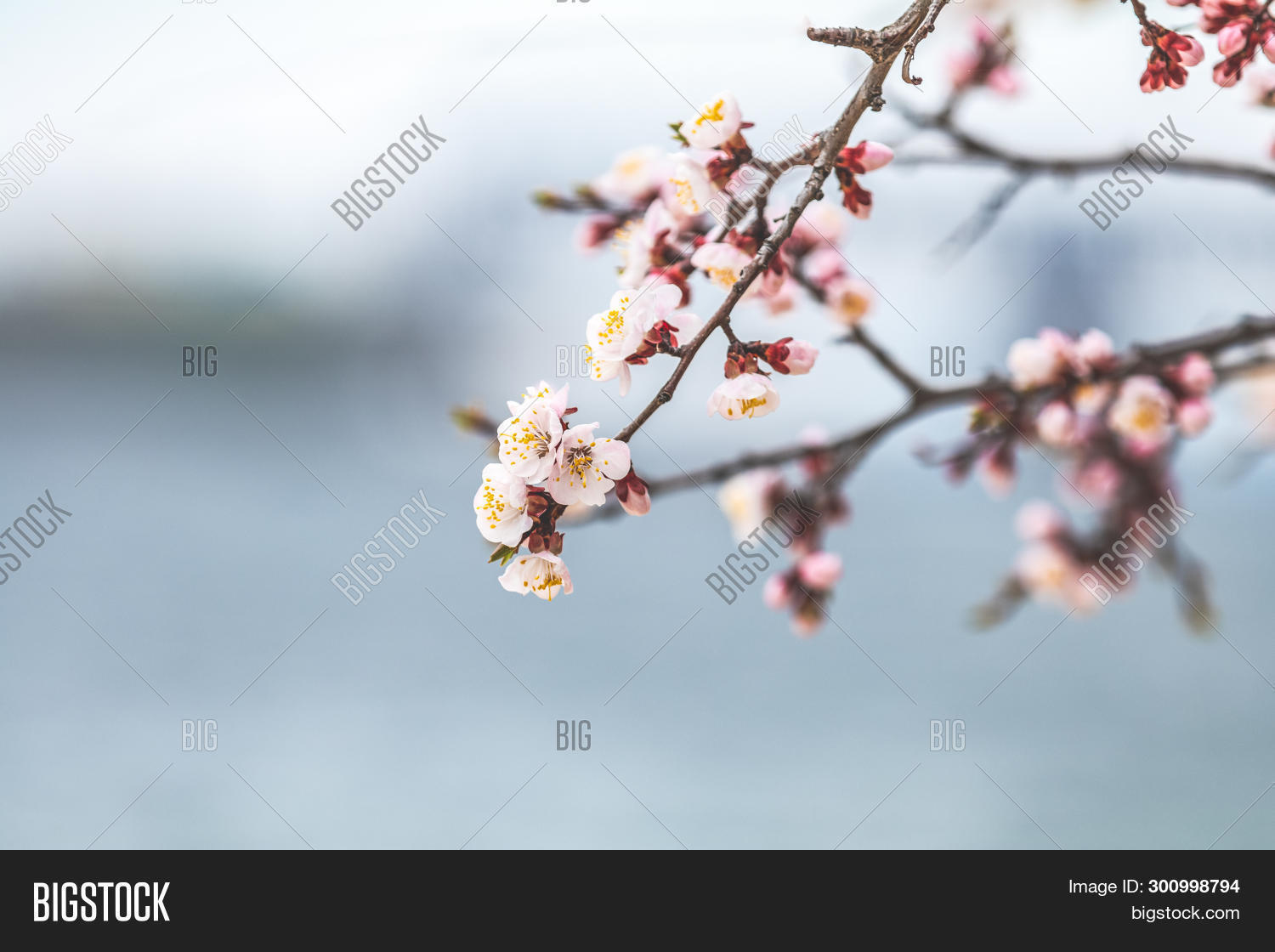 apricot,april,aroma,beams,beautiful,beauty,beginnings,bloom,blooming,blossom,blurred,bokeh,border,branch,bud,close,closeup,color,detail,flora,floral,flower,fragility,fresh,freshness,gardening,leaf,life,light,march,natural,nature,petal,pink,plant,pure,romantic,sakura,space,spring,springtime,sun,sunbeams,tranquil,tree,white