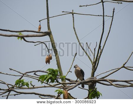 Cooper's Hawk also called as accipiter cooperii on silk cotton tree stock photo