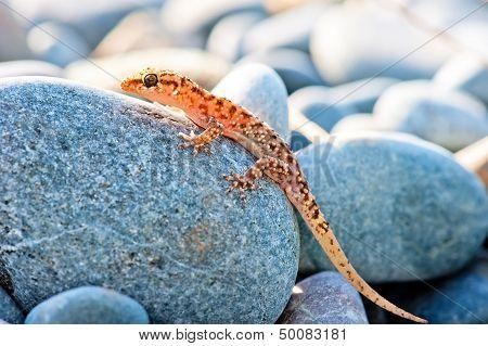 Gekkonovaya young lizard basking in the sun while sitting on a big gray stone