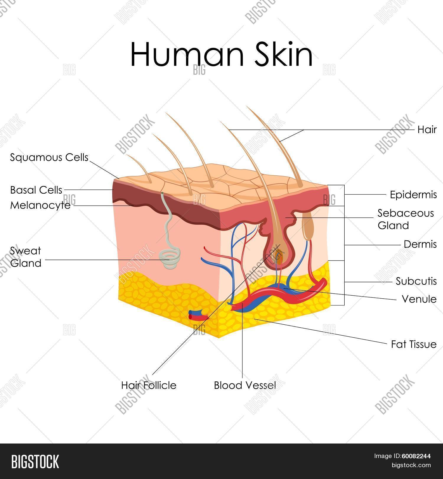 Human Skin Anatomy Photo Stock
