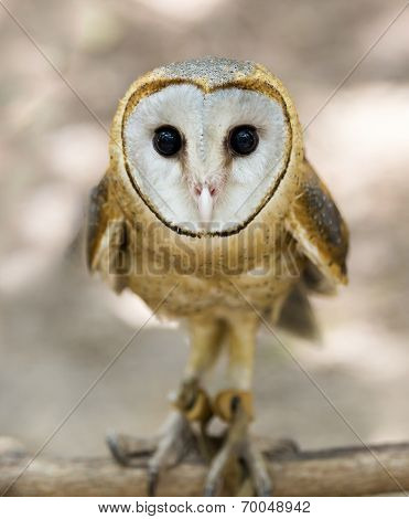 A barn owl. Perched on a dead tree stump. Barn Owls are silent predators of the night world. Lanky with a whitish face chest and belly and buffy upper parts this owl roosts in hidden quiet places during the day. stock photo