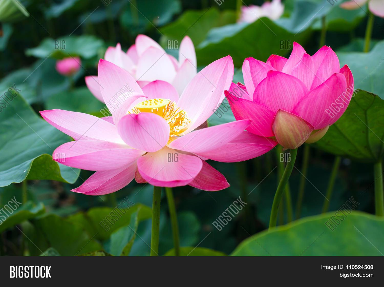 Lotus Rare Flower Symbol Of Purity Photo Stock