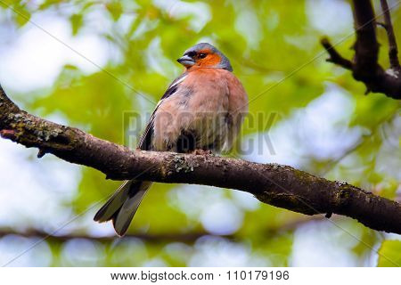 Chaffinch, songbird of the family of finches.