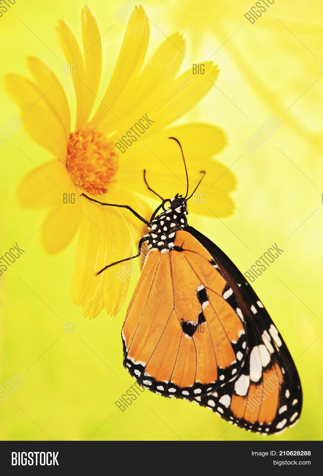 Philippines,abdomen,animal,beautiful,beauty,blur,bokeh,bug,butterfly,calendula,chrysippus,close-up,closeup,danaus,entomology,feed,flower,gradient,insect,lepidoptera,life,macro,marigold,monarch,moth,nature,nectar,orange,ornament,pattern,petal,proboscis,rhombus,tropical,widespread,wing,yellow
