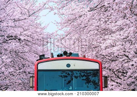 Cherry blossom or Sakura and trian in spring at Jinhae South Korea. stock photo