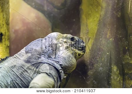 Rhinoceros iguana at summer in cliffs of the Dominican Republic stock photo