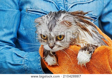 Angry dissatisfied wet cat of scottish fold breed with lop ears trying to jump from hands after washing in bathroom. Pet care concept. stock photo