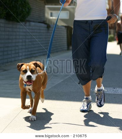 dog being walked at venice beach.  english boxer? stock photo