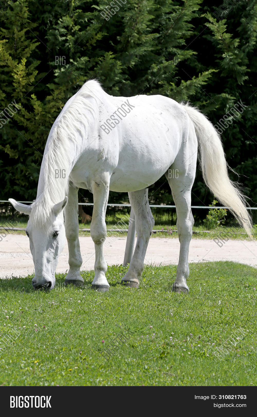 animal,background,barn,beautiful,beauty,bridle,close,color,country,countryside,creature,cute,domestic,eat,farm,farmland,feed,field,horse,landscape,lipizzaner,mane,mare,meadow,natural,nature,old,outdoor,paddock,pasture,provender,purebred,ranch,rural,scene,spring,stallion,stover,summer,white,white-haired,wild,wildlife,yarrow
