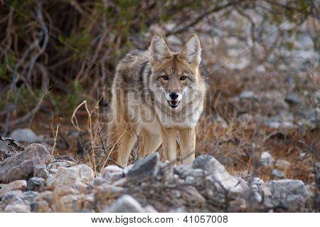 Coyote à la recherche