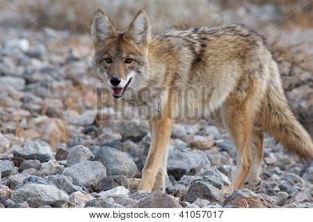 Coyote se promener