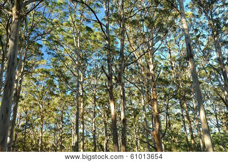 tall gum trees in dappled light of early morning stock photo