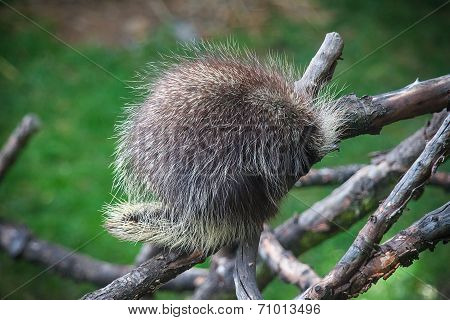 North American Porcupine, Erethizon dorsatum, also known as Canadian Porcupine or Common Porcupine sleeping on the tree  ** Note: Visible grain at 100%, best at smaller sizes stock photo