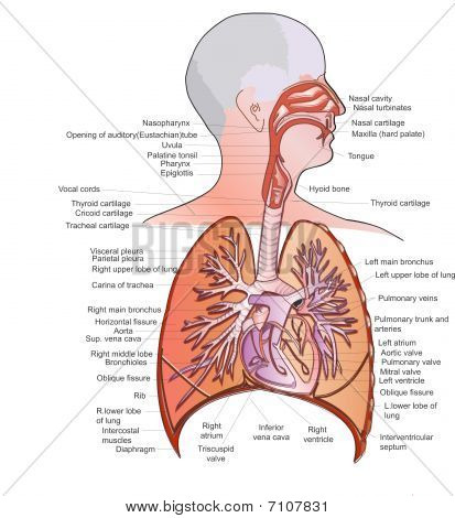 Stock Photo Of Respiratory System Anatomy Royalty Free Images