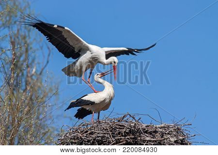 Mating white storks, ciconia ciconia. Wild animals copulating on nest with blue sky as background. stock photo