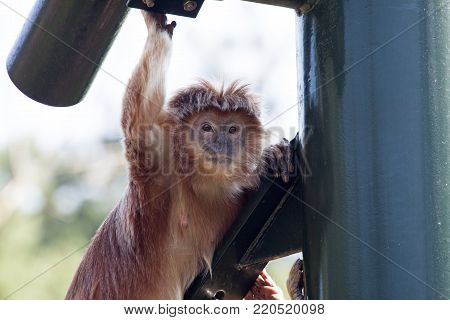 Javanese langur monkey sitting in the shadow on a sunny day stock photo