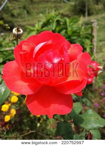 photo of flower red natural. Caldas Colombia stock photo