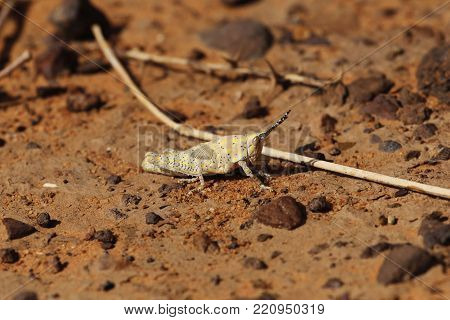 The grasshopper Poekilocerus bufonius hieroglyphicus on desert sands in the Sahara in Africa. stock photo