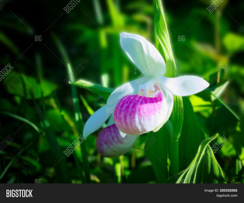 Showy Lady's-slipper, Cypripedium Reginae, Minnesota State Flower.