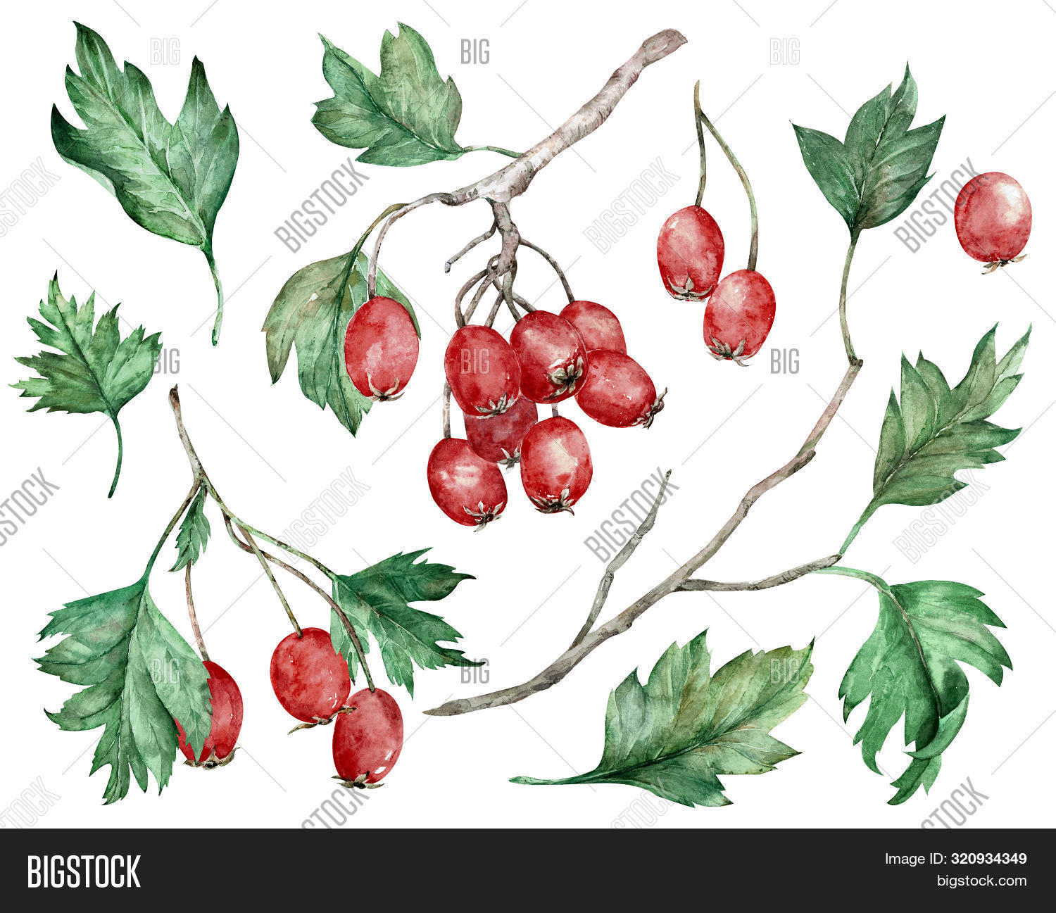antioxidant,aromatherapy,asia,autumn,background,berry,botanical,branch,bush,clipart,color,drawing,eco,element,evergreen,fall,floral,food,fruit,green,haw,hawberry,hawthorn,health,herb,homeopathic,illustration,ingredient,juice,leaf,mayhaw,medical,natural,object,organic,paint,plant,red,ripe,scarlet,shrub,summer,sweet,therapy,thorn,vegetarian,vitamin,watercolor,whitethorn,wild