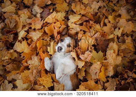 Dog In Autumn Leaves Flat Lay. Lucky Jack Russell Terrier Plays