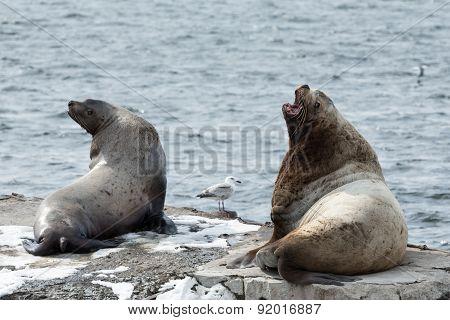 Nature of Kamchatka: rookery Steller Sea Lion or Northern Sea Lion (Eumetopias Jubatus). Russia Kamchatka Peninsula Avachinskaya Bay Petropavlovsk-Kamchatsky City. stock photo