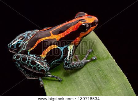 Red striped poison dart frog , ranitomeya amazonica. A poisonous small rainforest animal living in the Amazon rain forest in Peru. stock photo