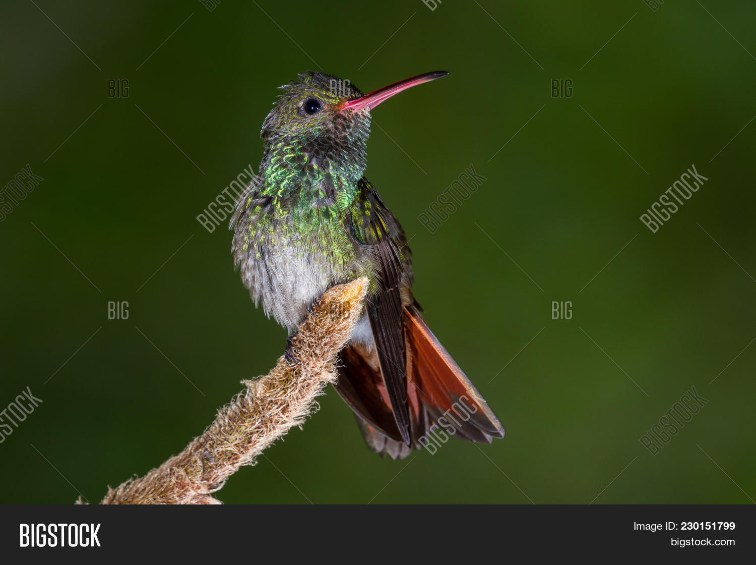 Belize,Summer,aggressive,america,animal,background,beak,beautiful,beauty,bird,blue,bright,central,close,colorful,costa,dark,detail,discover,eco,ecological,ecotourism,explore,fast,feathers,forest,green,humming,hummingbird,moving,natural,perched,rain,rica,rufous,sitting,small,spring,tailed,territorial,tourism,travel,tropical,wild,wildlife,wings