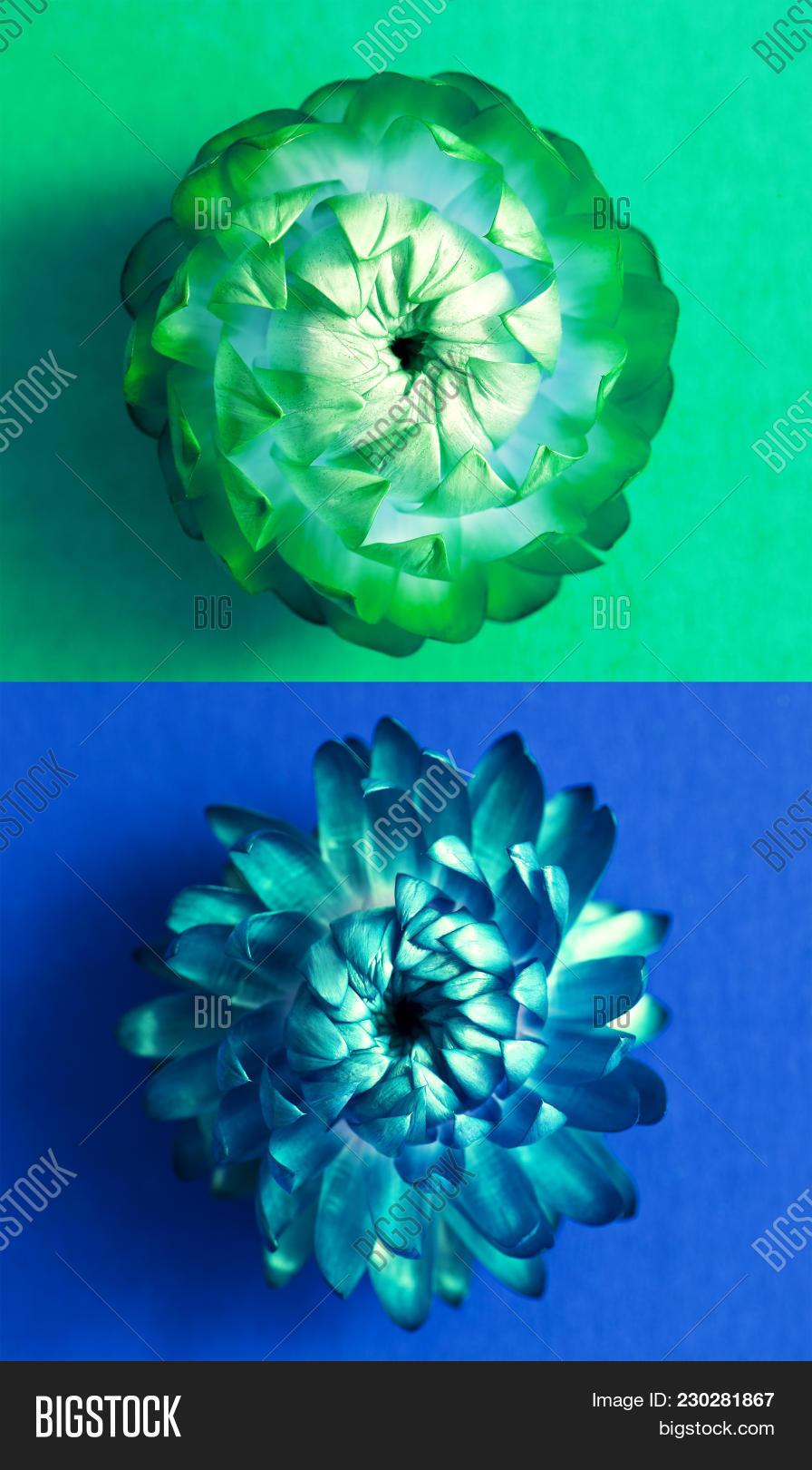 Two Blossoms Of Everlasting Flowers Strawflowers Green Flower