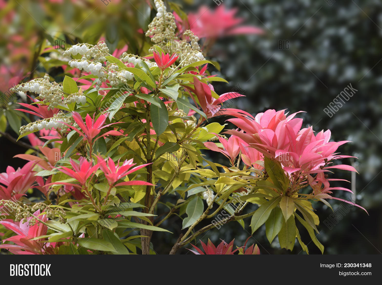 Chinese Pieris Pieris Formosa Var Forestii Red Leaves White