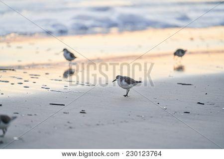 A group of sanderlings wandering a Florida beach on the Atlantic ocean.   stock photo