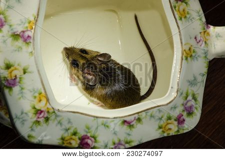 A wild brown house mouse, Mus musculus, caught in the bottom of a flowered porcelain tea pot. The rodents back is to the camera and his tail is curled around the bottom of the china pot. The tea pot is cream colored with yellow and red flowers. stock photo