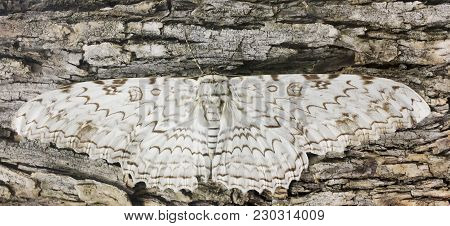 A Great Owlet Moth, Thysania agrippina, Waits Motionless on Bark stock photo