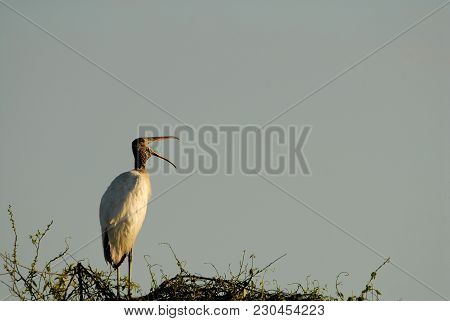A large mature wood stork perched on top of a tree with mouth agape in a rather comical pose. stock photo