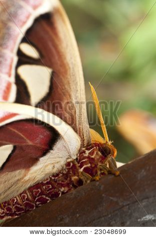 The Atlas moth (Attacus atlas) is a large saturniid moth found in the tropical and subtropical forests of Southeast Asia and common across the Malay archipelago. stock photo
