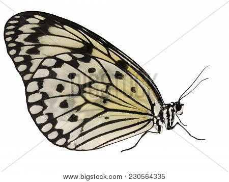 A paper kite butterfly, rice paper butterfly or large tree nymph, Idea leuconoe, isolated on white background. The big white butterfly with black spots sits with its wings closed. Side view. stock photo