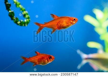 Small beauty Ember Tetra or Hyphessobrycon amandae in planted tropical fresh water aquarium stock photo