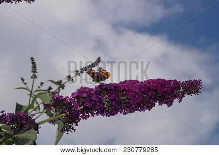 The Butterfly Vanessa Atalanta also called Admiral on the Butterflybush Buddleja Davidii stock photo