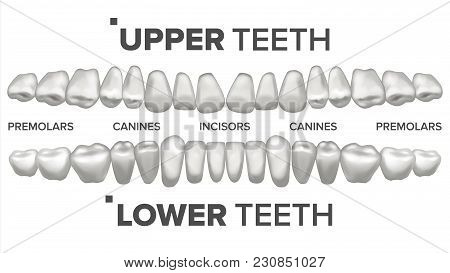 Human Teeth Set Vector. Dental Health. Incisor, Canine, Premolar, Molar Upper, Lower. Clean White Tooth. Periodontal Concept Isolated Illustration stock photo