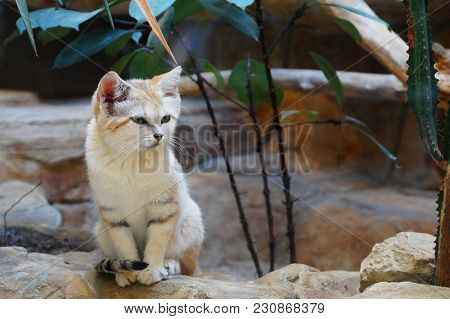 Young arabian sand cat, Felis margarita in zoo. Sand cat is a beautiful desert animal. Portrait of sand cat sitting on stone floor also known as sand dune cat. stock photo