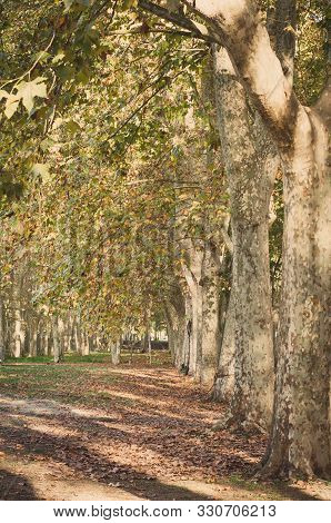 the autumnal foliage of platanus hispanica trees stock photo