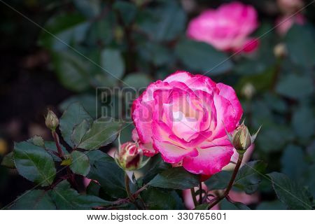 Red and white rose flowers on a green blurred background. Copy space background. stock photo