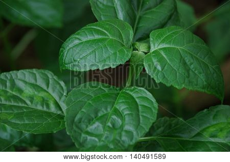 Patchouli , Pogostemon cablin (Blanco) Benth) is a species of plant from the genus Pogostemon.